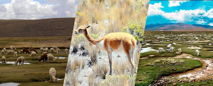 Cañón de Colca - Reserva de Vicuñas